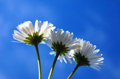 Margarida sob o céu azul imagens de stock