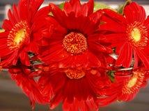 Margarida vermelha de Gerber Imagem de Stock