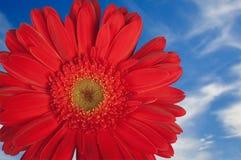 Margarida vermelha de Gerber com céu fotografia de stock royalty free