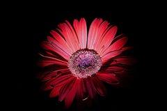 Margarida vermelha do Gerbera Imagens de Stock Royalty Free