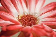 Margarida vermelha e branca do Gerbera Fotos de Stock