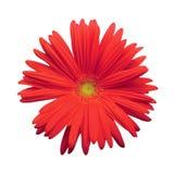 Margarida vermelha isolada de Gerber Fotografia de Stock Royalty Free