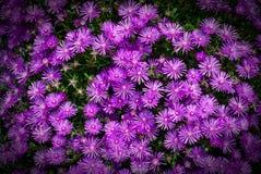 Margarida violeta Fotos de Stock Royalty Free