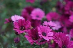 Margarida violeta imagem de stock