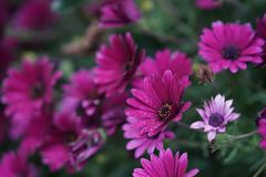 Margarida violeta imagens de stock royalty free