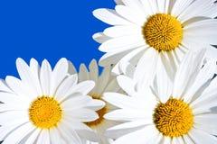Margaridas Imagem de Stock