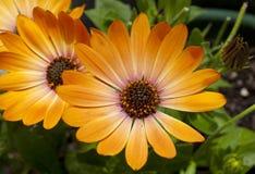 Margaridas alaranjadas Foto de Stock Royalty Free