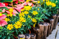 Margaridas amarelas bonitas Imagem de Stock Royalty Free