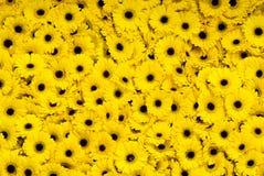 Margaridas amarelas de Gerber Foto de Stock