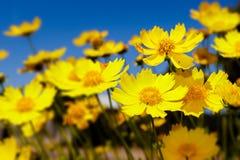 Margaridas amarelas e céu azul Fotografia de Stock Royalty Free