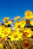 Margaridas amarelas e céu azul Imagem de Stock Royalty Free