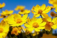 Margaridas amarelas e céu azul Fotografia de Stock
