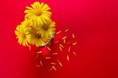 Margaridas amarelas em um vaso pequeno em um fundo vermelho foto de stock