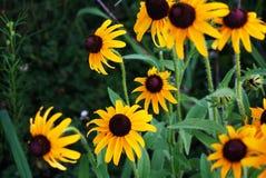 Margaridas amarelas, girassol imagem de stock royalty free