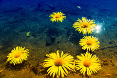 Margaridas amarelas na água Imagens de Stock Royalty Free