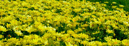 Margaridas amarelas na flor Fotos de Stock