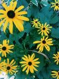 Margaridas amarelas no verão Foto de Stock Royalty Free