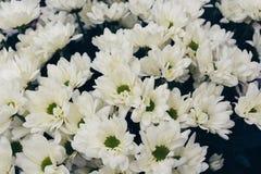 Margaridas bonitas em um dia nebuloso foto de stock royalty free