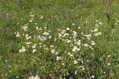 Margaridas bonitas em um prado Fotografia de Stock