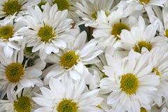 Margaridas brancas imagem de stock