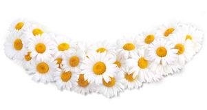 Margaridas brancas Imagens de Stock Royalty Free