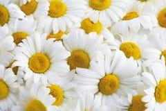 Margaridas brancas Imagens de Stock
