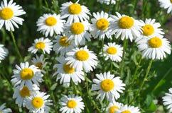 Margaridas brancas Foto de Stock Royalty Free