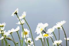 Margaridas brancas com fundo da água A profundidade de campo suporta sobre de um detalhe do tapete persa Fotos de Stock