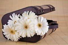 Margaridas brancas de Gerber na mala de viagem do vintage Imagens de Stock Royalty Free
