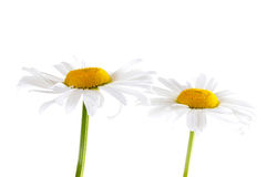 Margaridas brancas e amarelas Foto de Stock