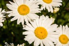 Margaridas brancas e amarelas Fotos de Stock Royalty Free