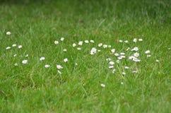 Margaridas brancas e amarelas pequenas na grama Fotos de Stock