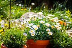 Margaridas brancas em uns potenciômetros da terracota no jardim imagens de stock royalty free