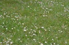 Margaridas brancas pequenas em um campo Foto de Stock Royalty Free