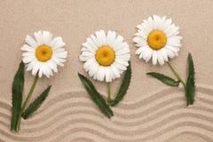 Margaridas brancas que crescem na areia ondulada Conceito Fotografia de Stock