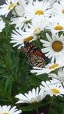 Margaridas com borboleta de monarca Foto de Stock