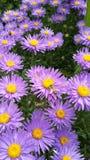 Margaridas com uma abelha Fotos de Stock
