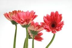 Margaridas cor-de-rosa Foto de Stock Royalty Free