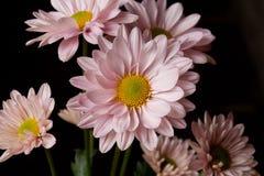 Margaridas cor-de-rosa Fotografia de Stock Royalty Free