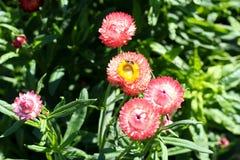 Margaridas cor-de-rosa Imagem de Stock