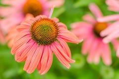 Margaridas cor-de-rosa Foto de Stock