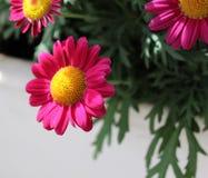 Margaridas cor-de-rosa Fotografia de Stock