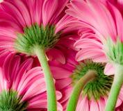 Margaridas cor-de-rosa brilhantes do gerber Imagens de Stock
