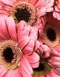 Margaridas cor-de-rosa de Gerber Foto de Stock