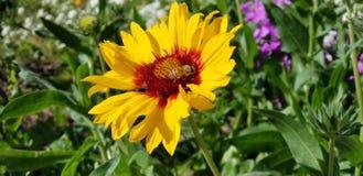 Margaridas da mola com abelha - Osteospermum dois Tone African Daisies imagem de stock