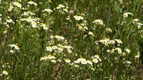 Margaridas das flores no campo video estoque