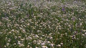 Margaridas das flores no campo vídeos de arquivo