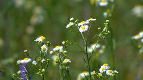 Margaridas das flores no campo filme