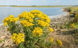 Margaridas de florescência amarelas do milho ao longo da água Imagens de Stock