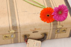 Margaridas de Gerber na mala de viagem Fotos de Stock Royalty Free